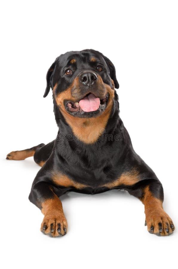 Portrait von jungem Rottweiler stockfoto