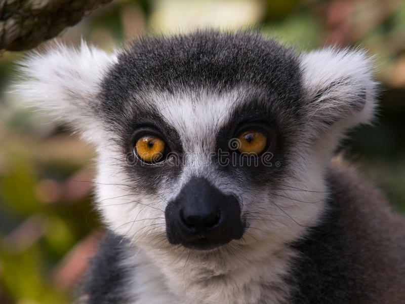 Portrait von Lemur catta stockfotos