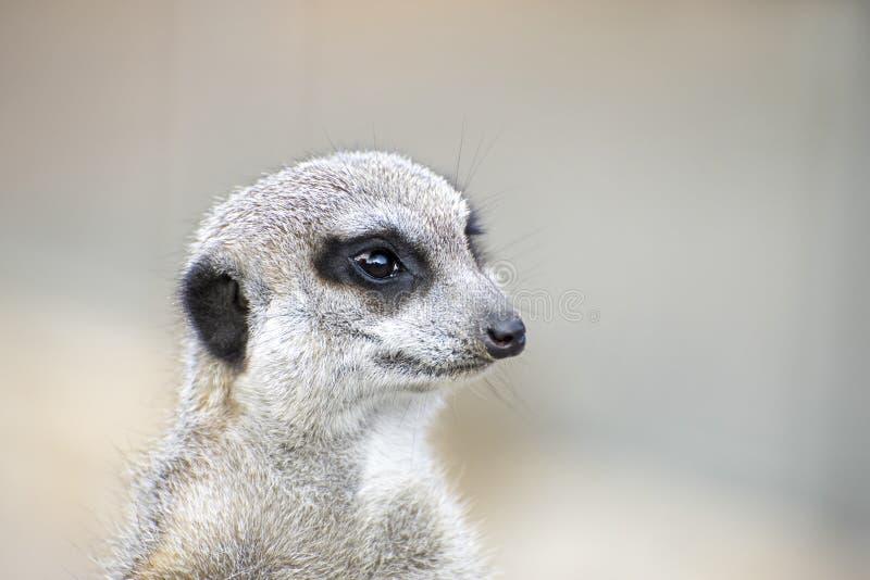 Portrait von meerkat lizenzfreies stockfoto