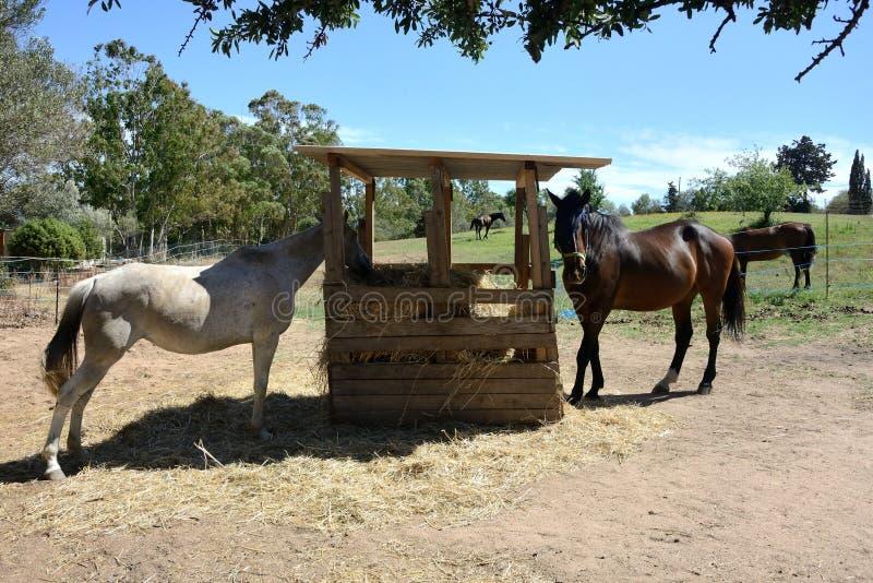 Portrait von zwei Pferden stockfotografie