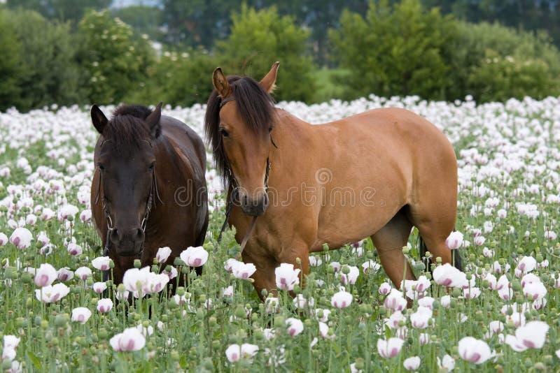 Portrait von zwei Pferden lizenzfreie stockfotos