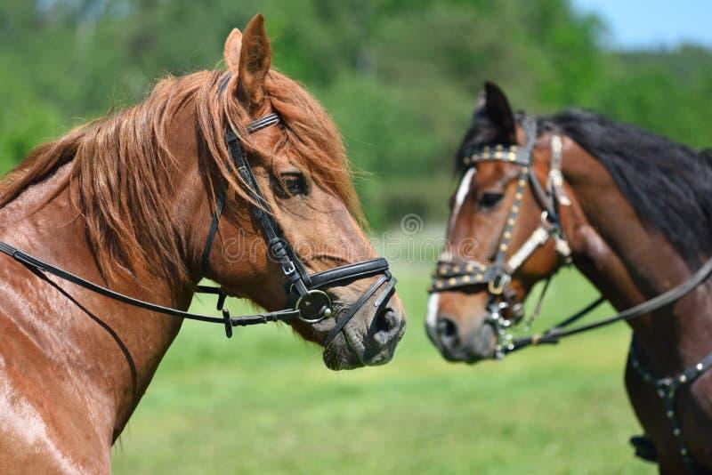 Portrait von zwei Pferden lizenzfreie stockbilder