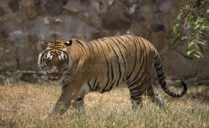 Portrait of a walking male wild tiger. Portrait of male wild tiger in action royalty free stock image