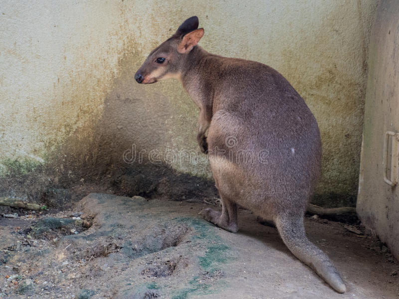 Portrait of a wallaby stock photo