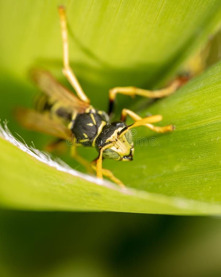 Portrait of a wasp on a green leaf stock image