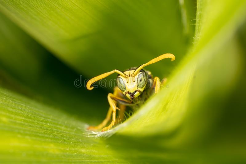 Portrait of a wasp on a green leaf stock images