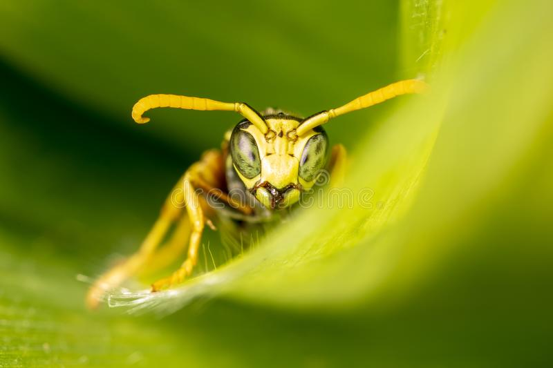 Portrait of a wasp on a green leaf royalty free stock photos