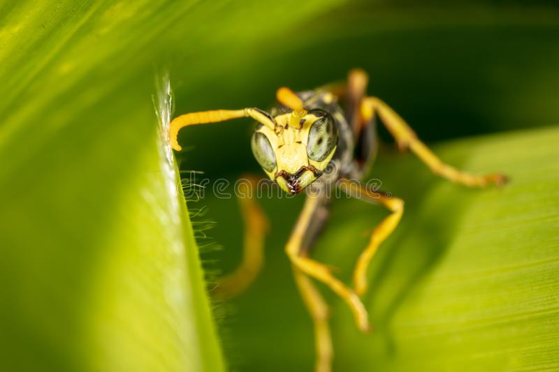 Portrait of a wasp on a green leaf royalty free stock photography
