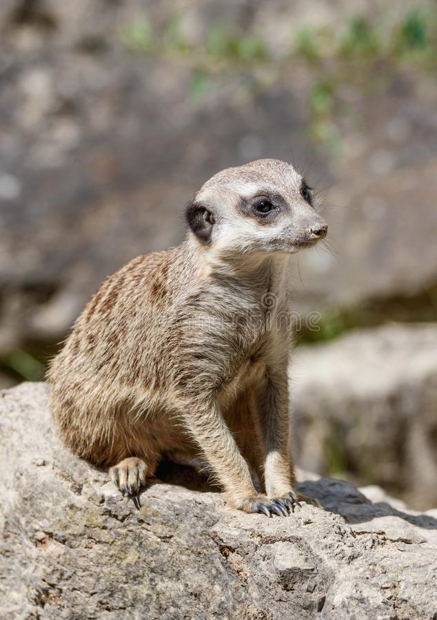 Portrait of a watchful meerkat. Sitting on a rock in a zoo stock photos