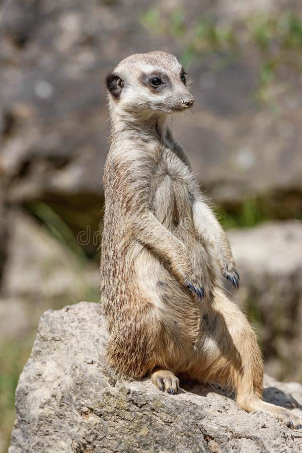 Portrait of a watchful meerkat. Sitting on a rock in a zoo stock photography