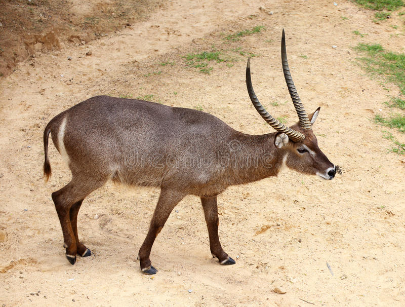 Download Portrait Of waterbuck stock photo. Image of bull, dewlap - 32234938