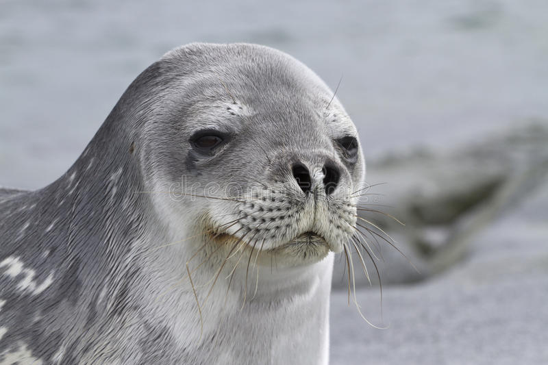 Download Portrait Of A Weddell Seal 1 Stock Photo - Image of arctic, travel: 40943710