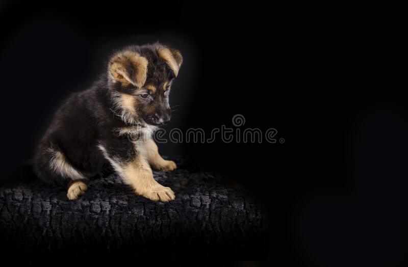Portrait of a 7 week old german shepherd puppy, the pup is sitting, black background, copy-space.  royalty free stock photography
