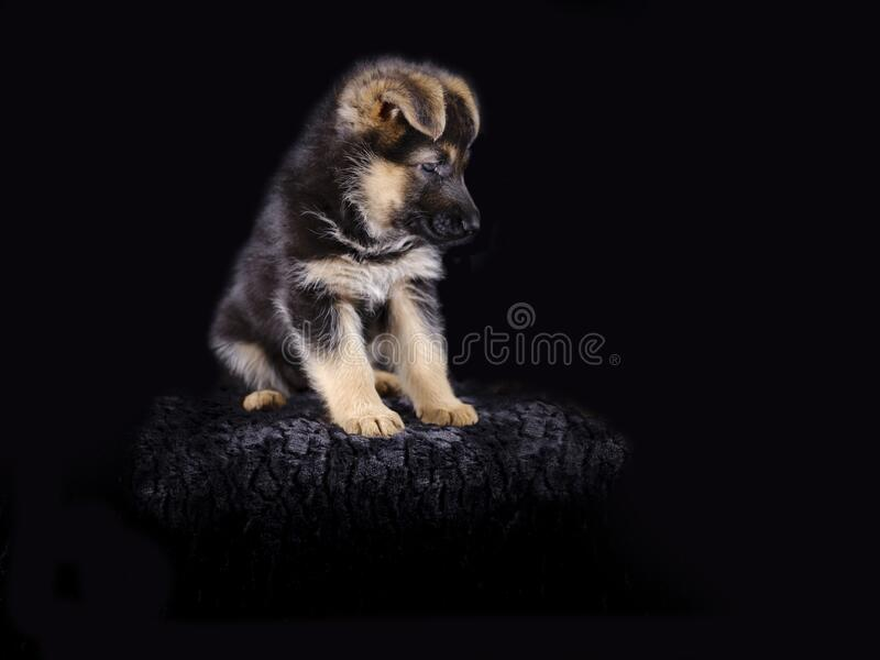Portrait of a 7 week old german shepherd puppy, the pup is sitting, black background, copy-space.  royalty free stock image
