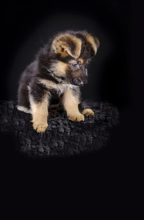 Portrait of a 7 week old german shepherd puppy, the pup is sitting, black background, copy-space.  stock photography