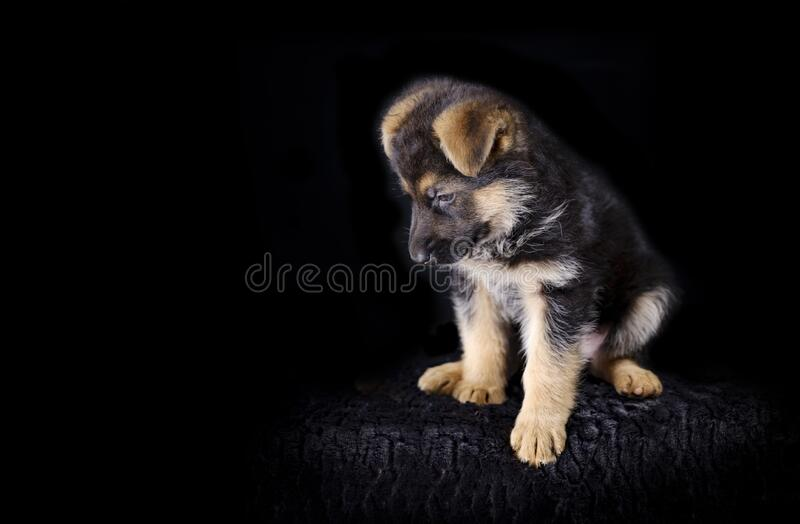 Portrait of a 7 week old german shepherd puppy, the pup is sitting, black background, copy-space.  stock image