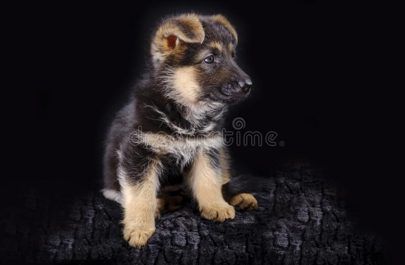 Portrait of a 7 week old german shepherd puppy, the pup is sitting, black background, copy-space.  stock images