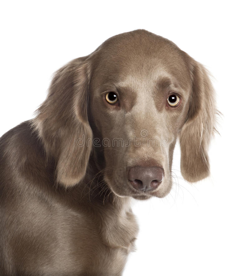 Download Portrait Of Weimaraner, 8 Months Old Stock Image - Image: 24991403