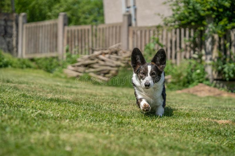 Welsh Corgi Cardigan tricolor with brindle points, running in garden. Portrait of Welsh Corgi Cardigan royalty free stock photography