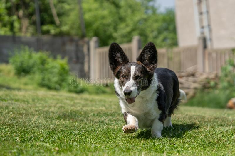 Welsh Corgi Cardigan tricolor with brindle points, running in garden. Portrait of Welsh Corgi Cardigan royalty free stock photos