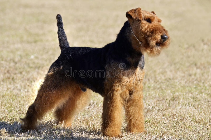 Portrait Welsh Terrier puppy dog. An outdoor portrait of a stunning little Welsh Terrier male puppy dog named Hamish. He is standing outdoors on the grass in a stock images