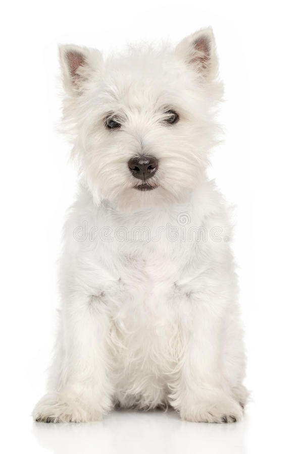 Portrait of West Highland White terrier. West Highland White terrier puppy sits on a white background royalty free stock photography
