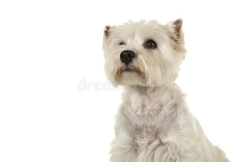 Portrait of a West highland white terrier or westie dog looking. Up on a white background royalty free stock image