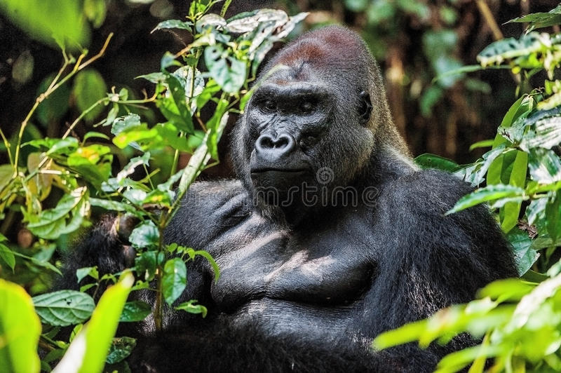Portrait of a western lowland gorilla (Gorilla gorilla gorilla) close up at a short distance. Silverback - adult male of a gorilla royalty free stock photo