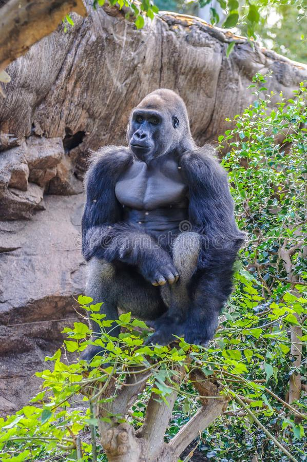 Portrait of a western lowland gorilla in Loro Parque, Tenerife, Canary Islands.  stock image