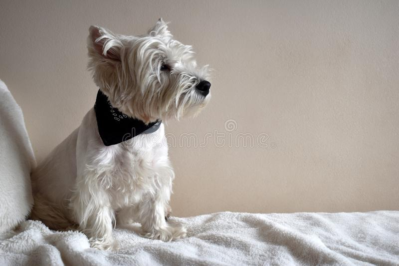 Portrait of a Westie, West Highland White Terrier Puppy. West Highland White Terrier, Westie, puppy portrait. Lying on a sofa royalty free stock photos