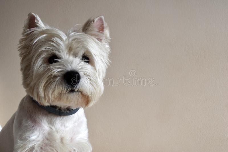 Portrait of a Westie, West Highland White Terrier Puppy. West Highland White Terrier, Westie, puppy portrait. Lying on a sofa royalty free stock photography