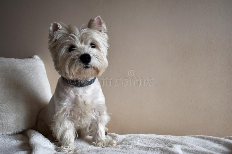 Portrait of a Westie, West Highland White Terrier Puppy. West Highland White Terrier, Westie, puppy portrait. Lying on a sofa royalty free stock image