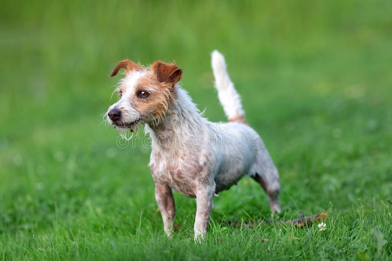 Portrait of wet jack russel terrier stock photo