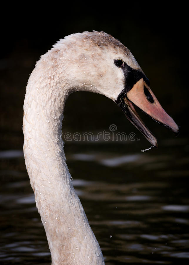 Portrait Of Wet Large Cygnet On Dark Water. Large Cygnet (yearling swan) shown in side view against dark water wet with droplets on beak at River Yare, Norfolk stock images