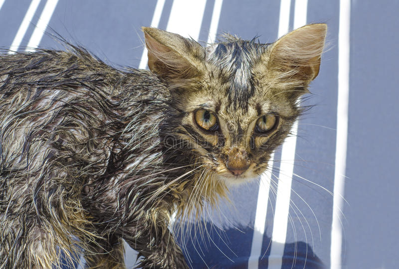 Portrait of a wet tabby cat after a bath in blue and white line royalty free stock photos