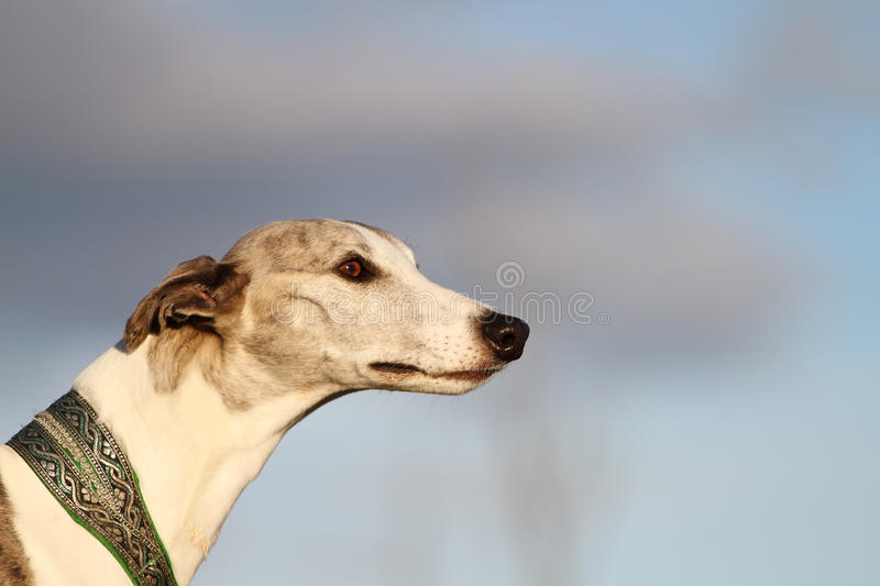 Portrait of a whippet in evening sunlight. royalty free stock photo