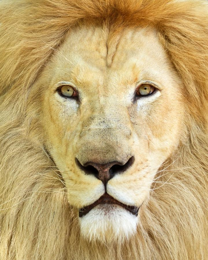 Portrait of white African male lion royalty free stock photo