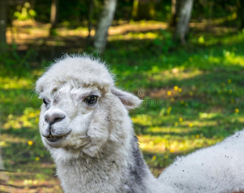 Portrait of a white alpaca on the background of green grass royalty free stock photography