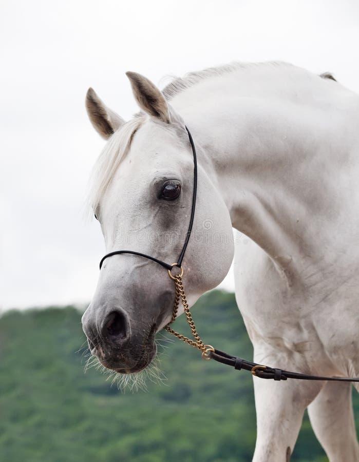 Portrait of white amazing arabian stallion stock images