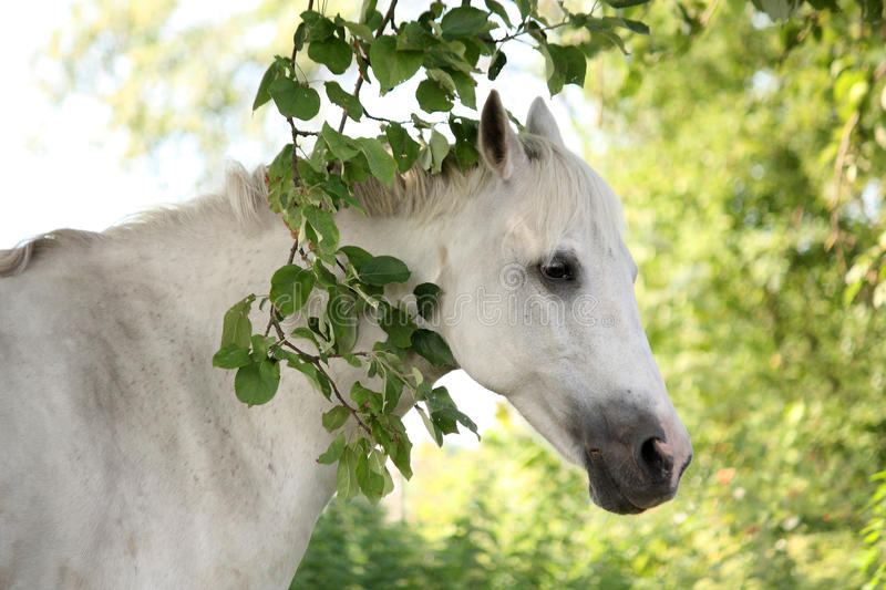Portrait of white arabian horse in the garden. Portrait of white arabian horse in the summer garden royalty free stock images