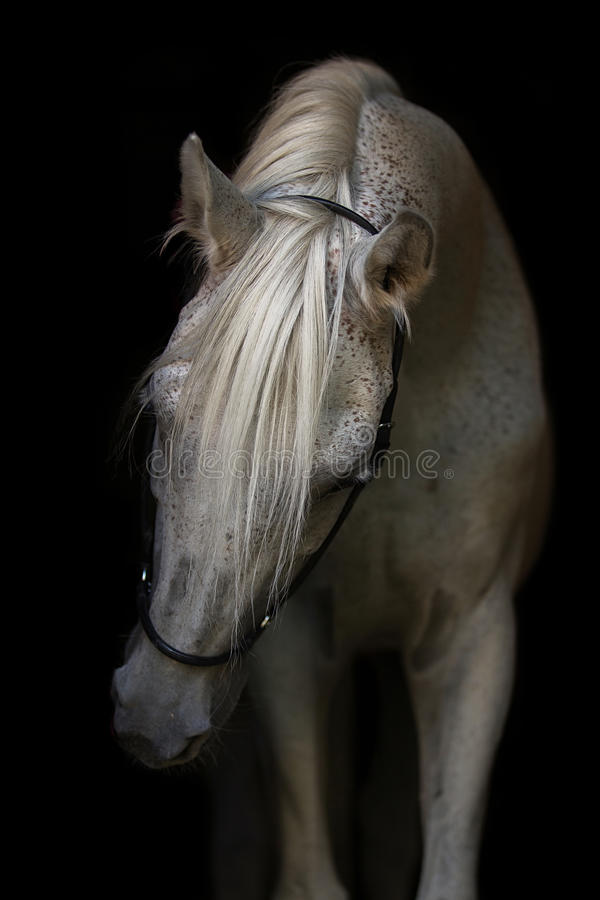 Portrait of white Arabian stallion. royalty free stock images