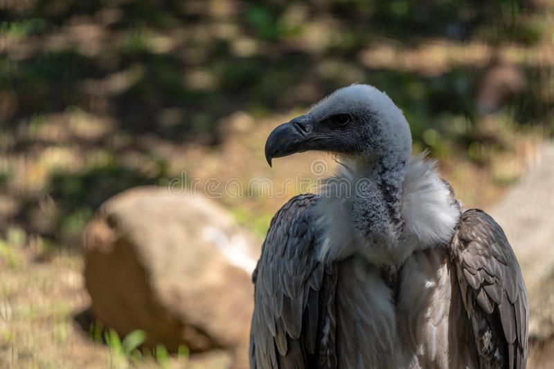 A portrait of a White-backed Vulture. At the African Raptor Centre, Natal Midlands, South Africa stock photo