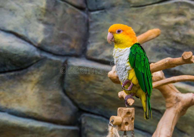 Portrait of a white bellied caique, popular and colorful pet in aviculture, Endangered bird specie from the Amazon of Brazil. A portrait of a white bellied royalty free stock image