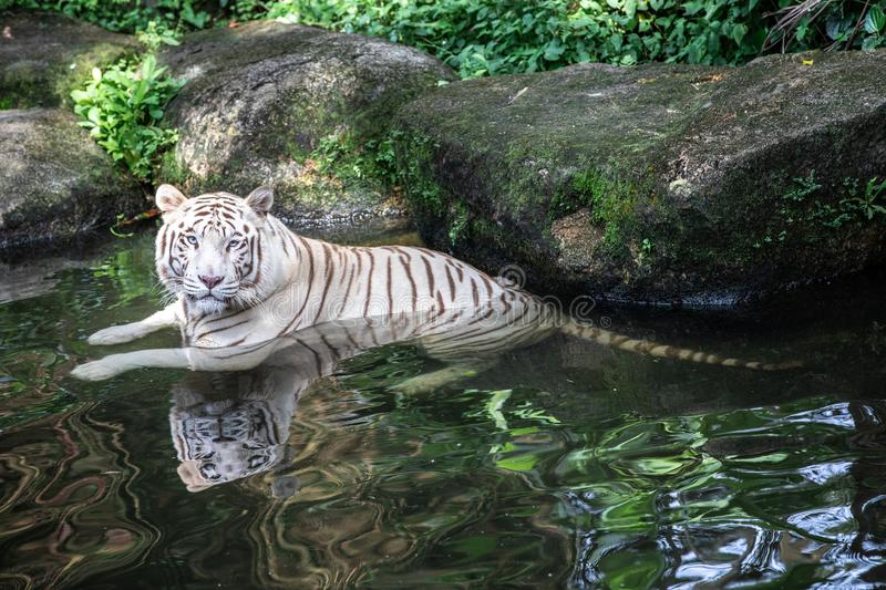 Portrait of a white / bleached tiger. Portrait of a majestic white / bleached tiger in a water hole in the greenery of a jungle. Singapore royalty free stock photos
