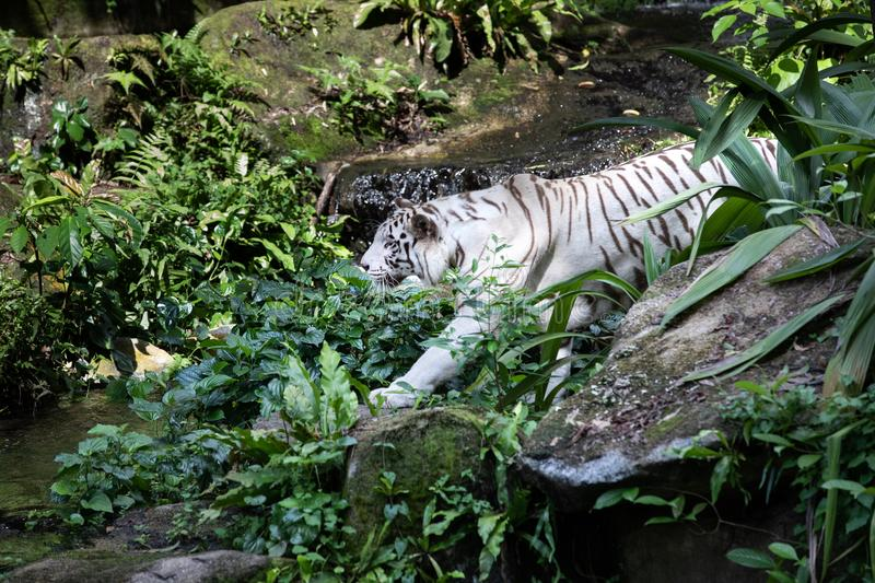 Portrait of a white / bleached tiger. Portrait of a majestic white / bleached tiger in the greenery of a jungle. Singapore stock images