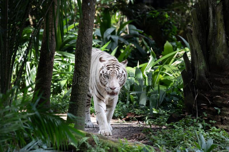 Portrait of a white / bleached tiger. Portrait of a majestic white / bleached tiger in the greenery of a jungle. Singapore stock photography