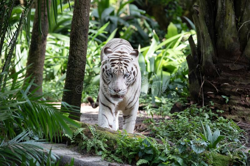 Portrait of a white / bleached tiger. Portrait of a majestic white / bleached tiger in the greenery of a jungle. Singapore royalty free stock photography