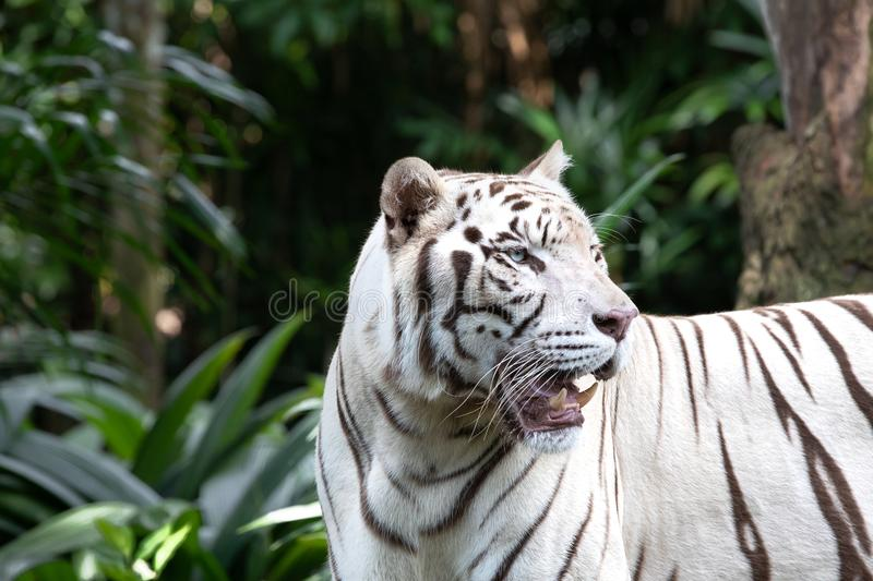 Portrait of a white / bleached tiger. Portrait of a majestic white / bleached tiger in the greenery of a jungle. Singapore royalty free stock image