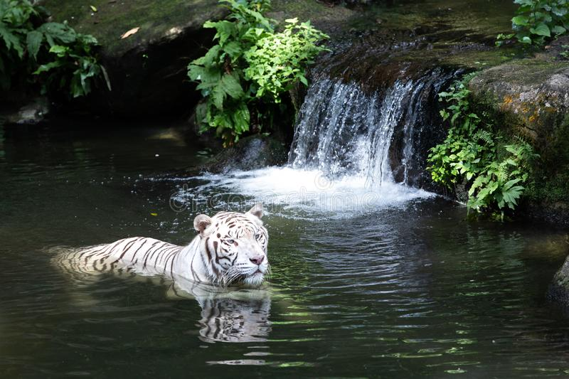 Portrait of a white / bleached tiger. Portrait of a majestic white / bleached tiger by a waterfall in the greenery of a jungle. Singapore stock photo