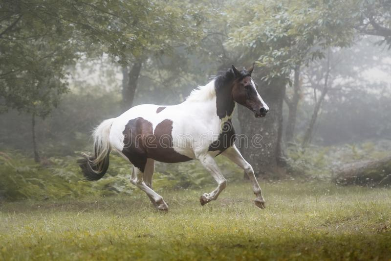 Beautiful paint horse galloping in a forest in a foggy morning. Portrait of a white and brown paint horse running in a forest in a foggy morning stock photography